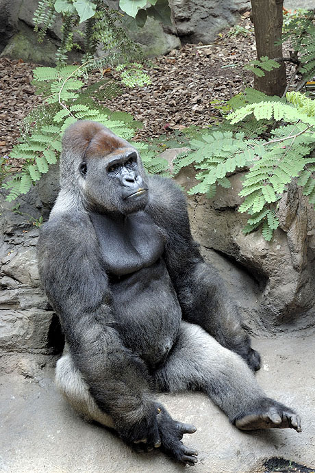Adult gorilla in Loro Zoo Park Tenerife photo